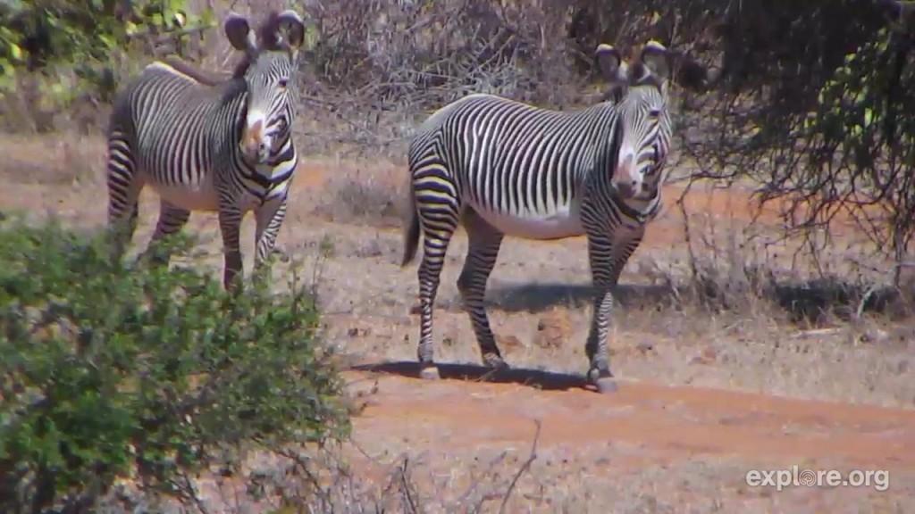 Africa_Zebras_Snuggles
