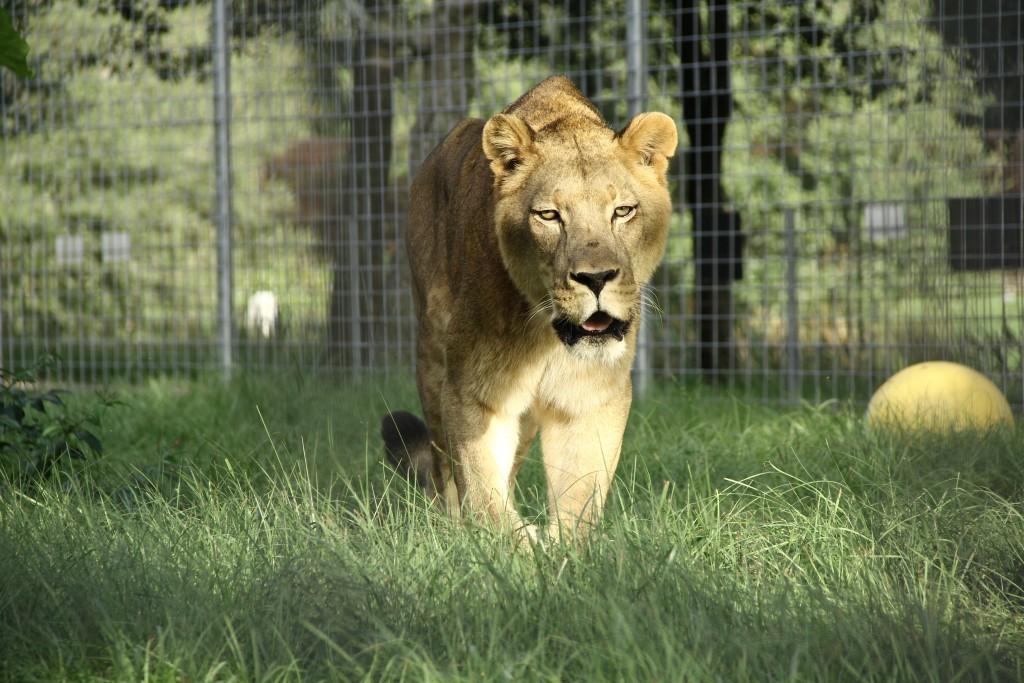 Cameron Lion IMG_8990