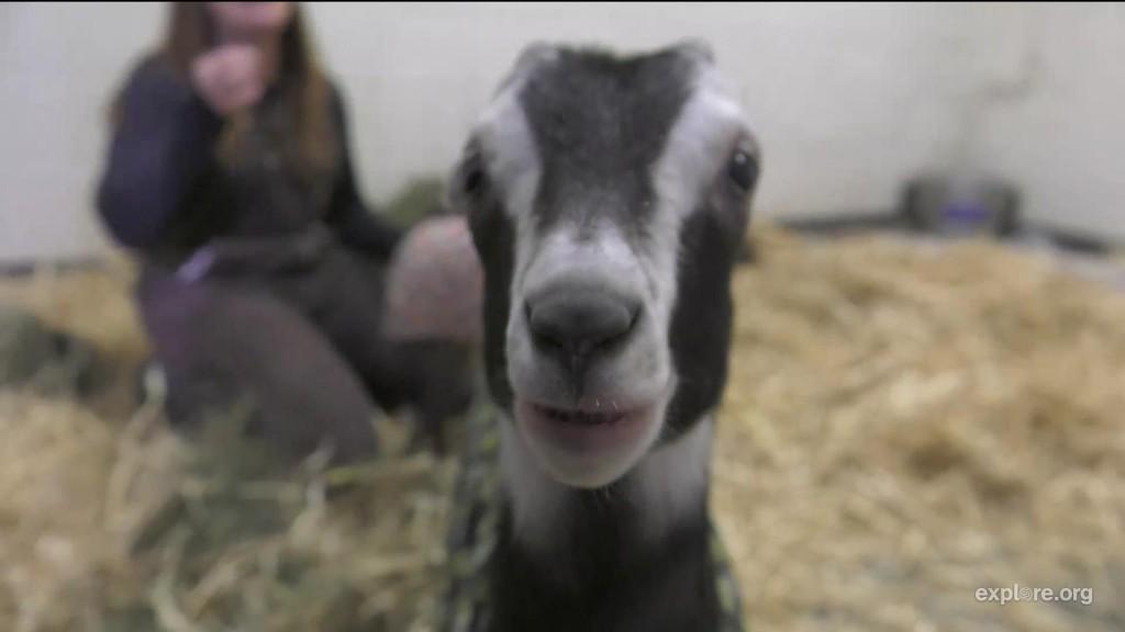 FS_Goats_Starry
