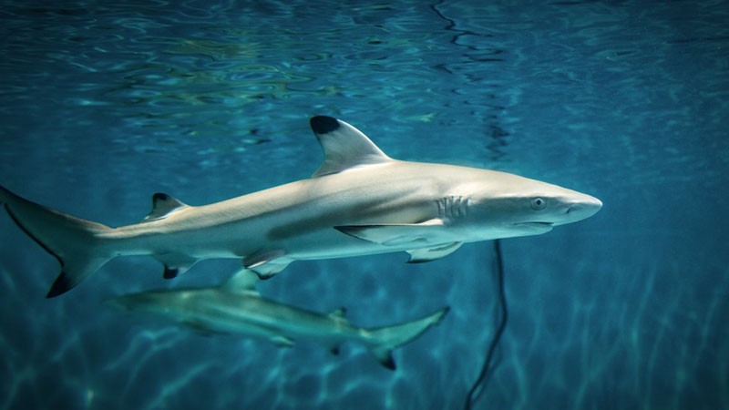Sharks Robin RIggs01