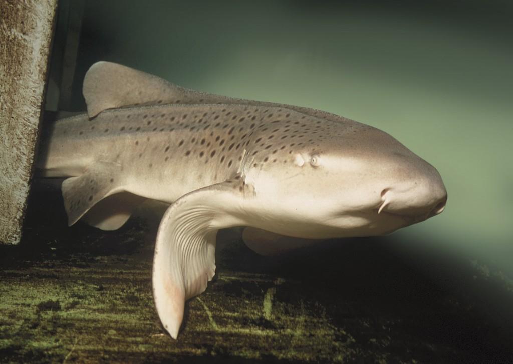 Zebra Shark 3R