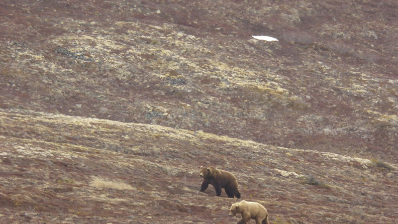 courting bears (854 and 634)_2_05172015