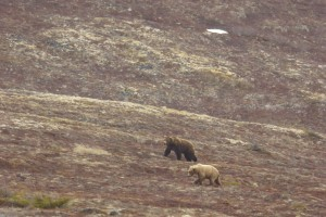 Brown Bears: Spring Emergence