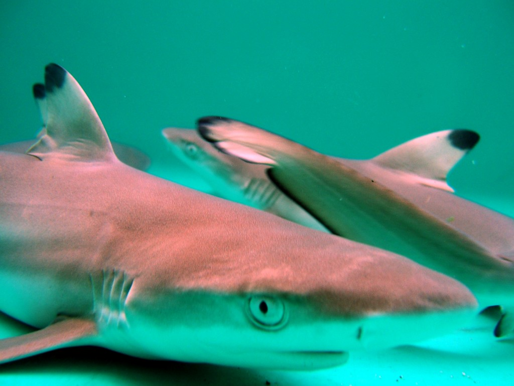 three blacktip pups