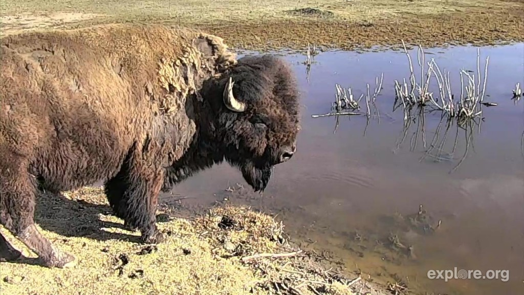 Bison cam by westendoldbird