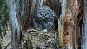 All About Owls with Expert Denver Holt, Live Tuesday!