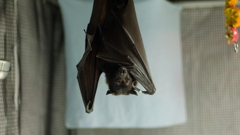 Malayan Flying Fox