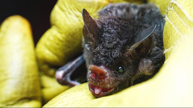 Seba's short-tailed bat (Carollia perspicillata)