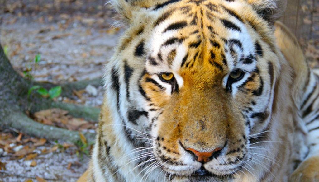 Seth-tiger-8426-700x466-1024x585
