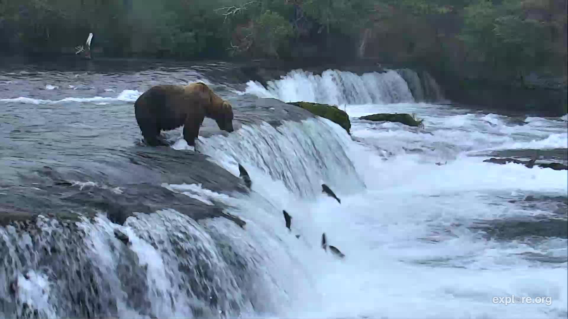 Bears_BrooksFalls_RachelinMichigan