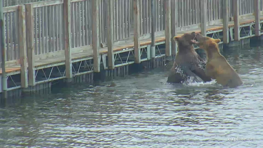 Two subadults wrestle in the water near the floating bridge