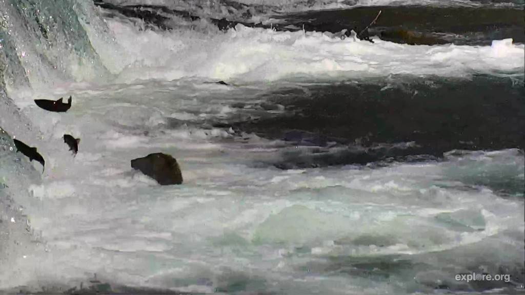 Salmon jumping the falls on August 19 in front of a subadult in the Jacuzzi