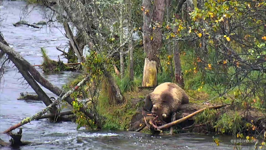 708's 2.5 year old cub searches for salmon along the bank