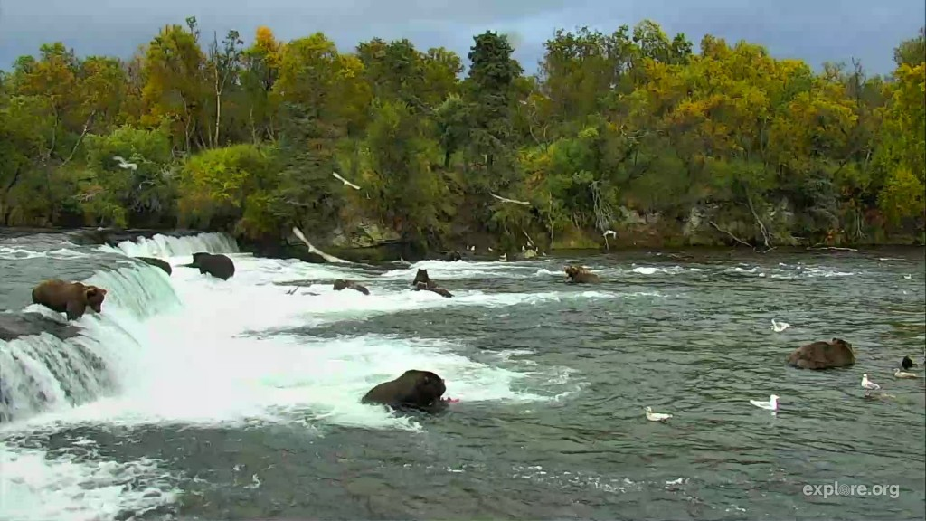 10 bears fishing the falls in September