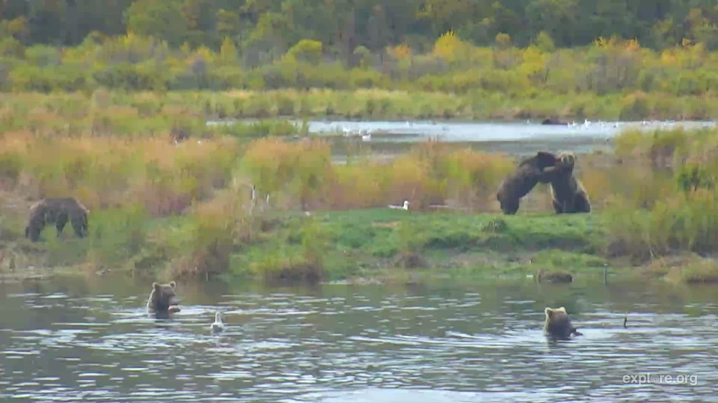 6 subadults play and fish on the lower river