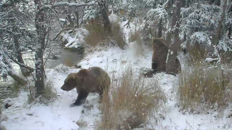 708 Amelia's cubs in the snow
