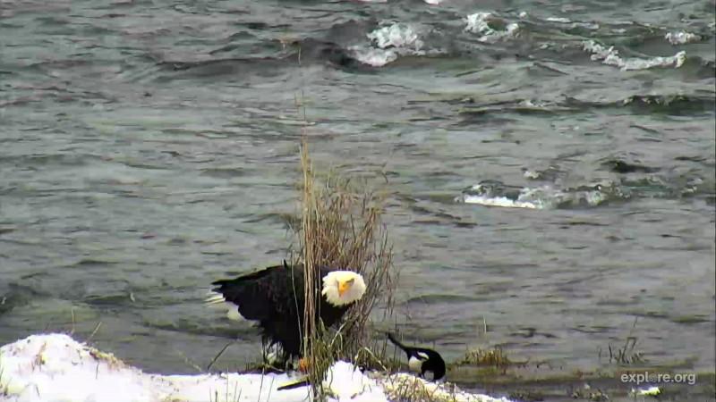 Eagle eating on island