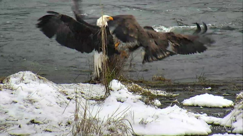 Juvenile and adult eagle fight over salmon