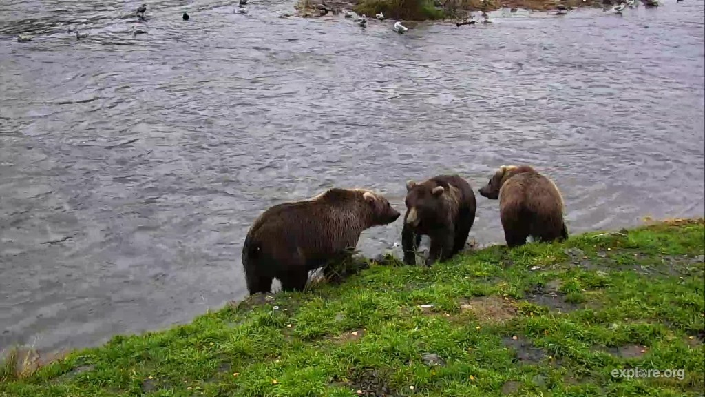 708 Amelia and her 2.5 year old cubs