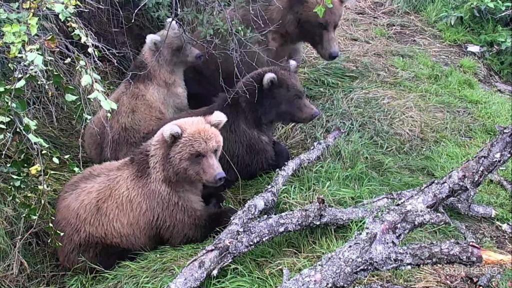 Bears_BrooksFalls_Grazer_COKelly_9.2.2017