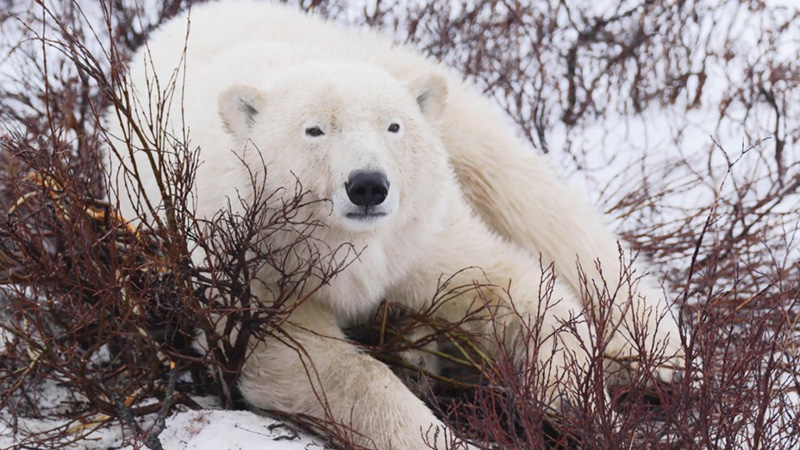 PolarBearLyingInBush