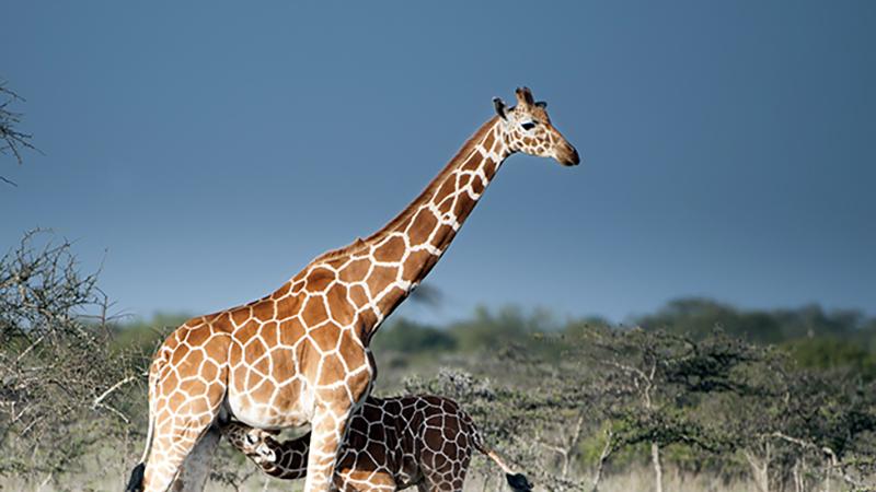 Giraffe Baby suckling