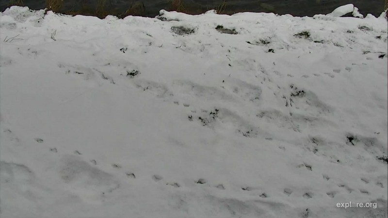 Bear and bird footprints in the snow