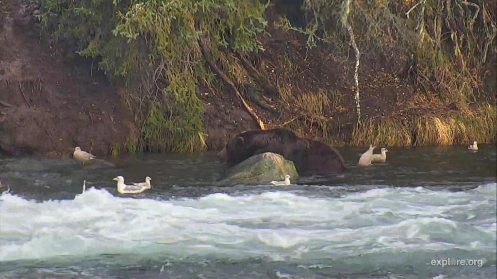 gull behind bear bobbing for salmon eggs