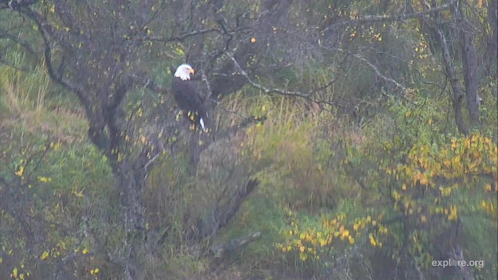 bald eagle at the falls