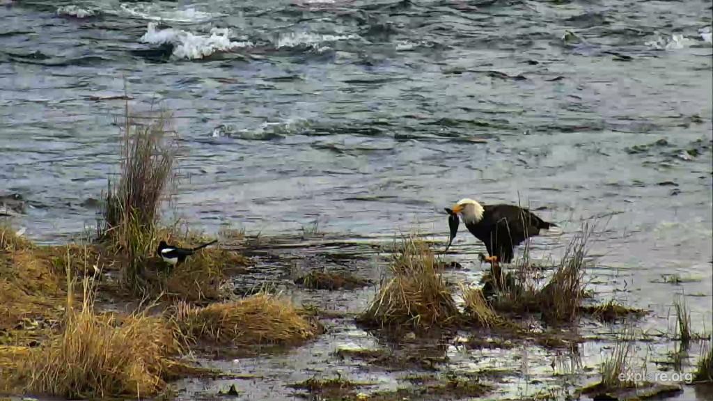 eagle eating salmon on the island