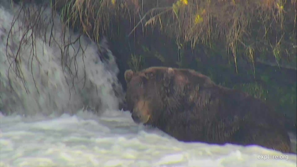 Unknown large male bear could be 115