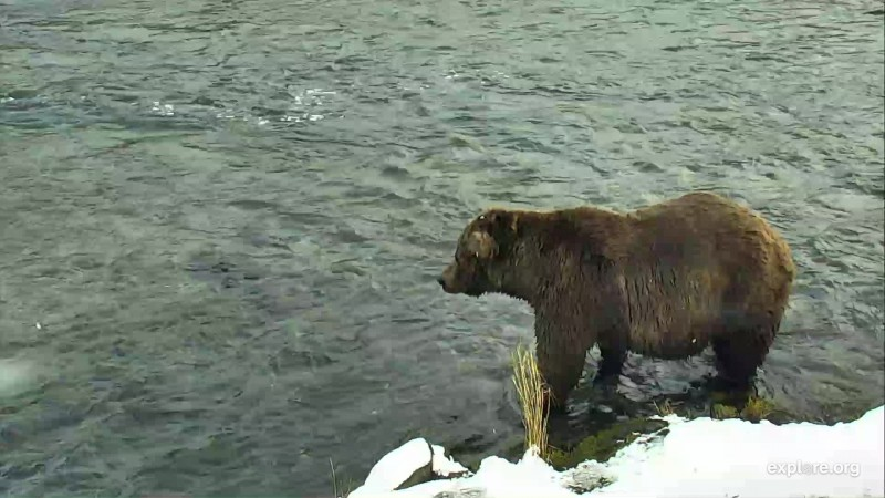 Unknown male bear at the falls