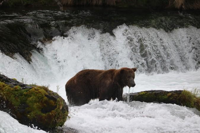 Bear 603