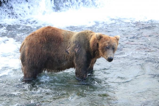 Bear 611