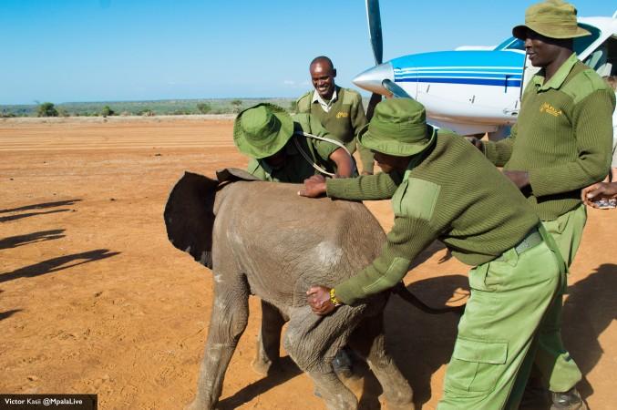 Rescued elephant calf at Mpala