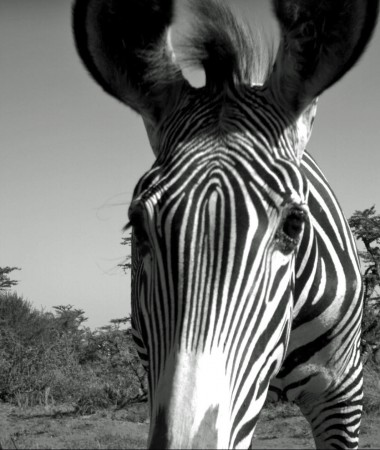 Camera Trap image of a curious Grevy's Zebra