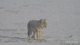Coyote Nao CamOp Aspire