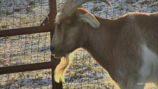 Goat CamOp Christine