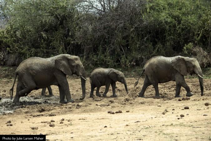 Julie Larsen Maher_9206_African Elephant Kenya_03 12 14