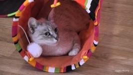 Kitten Rescue CamOp Fawn