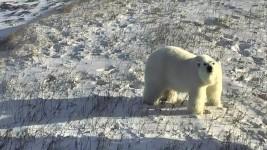 Polar Bear CamOp Scout