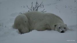 Polar Bear Nap CamOp Arya