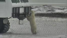 Polar Bears CamOp Fawn