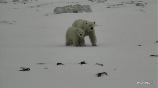 Polar Bears Family CmOp Fawn