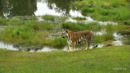 Tiger CamOp Kris