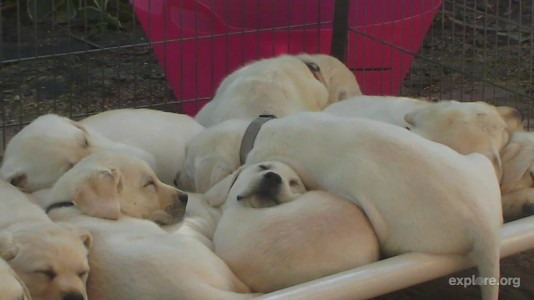 WCC Puppies by CamOp Maddie