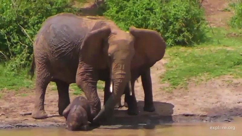 Ele learns to use trunk
