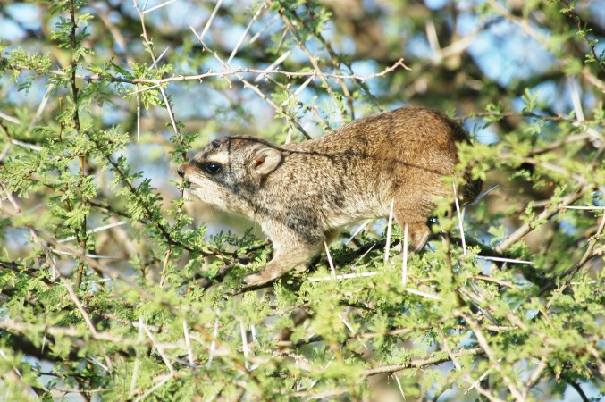 Hyrax on acacia