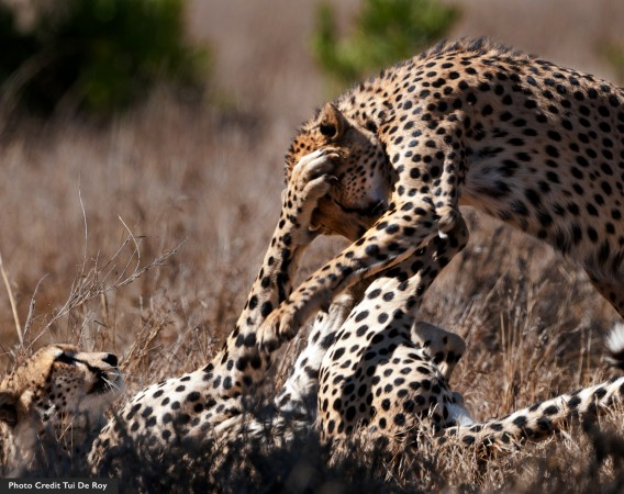 Playful cheetahs at Mpala
