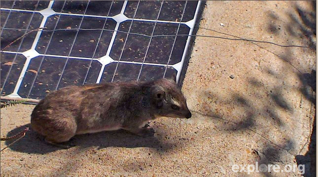 A hyrax rests on solar panels at Mpala